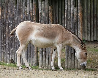 Onager - A Persian onager in Augsburg Zoo