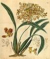 Oncidium pubes (as Oncidium bicornutum)-Curtis 58-3109 (1831).jpg
