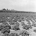 Ontginning, zaaien en oogsten gewassen, beregening, nop, Bestanddeelnr 160-0229.jpg