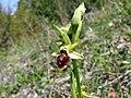Ophrys sphegodes 17.jpg