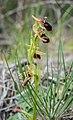 Ophrys sphegodes in Aveyron (3).jpg