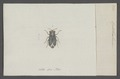 Ophthalmicus - Print - Iconographia Zoologica - Special Collections University of Amsterdam - UBAINV0274 040 07 0012.tif