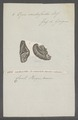 Opis cardissoides - - Print - Iconographia Zoologica - Special Collections University of Amsterdam - UBAINV0274 077 09 0002.tif