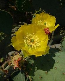 Opunita Ficus-Indica in Behbahan, Iran