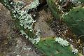 Opuntia haematocarpa.jpg