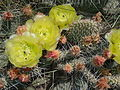 Opuntia polyacantha Upper Ruby River 03.JPG