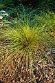 Orange New Zealand Sedge Carex testacea Plant 2000px.jpg