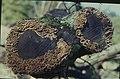 Orange bracket, Stereum ? hirsutum, felled oak, sapwood not heartwood, Gwaelod, 23 10 1965 (30986350436).jpg