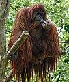 Orangutan -Zoologischer Garten Berlin-8a.jpg
