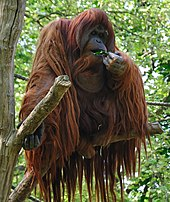 Orangutan on a branch eating some leaves