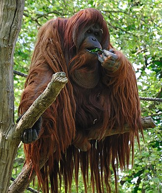 Orangutan - Although orangutans may consume leaves, shoots, and even bird eggs, fruit is the most important part of their diet.