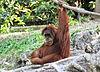 Czerwona małpa – spisek komunistów?
