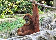 Orangutan 001