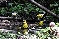 Orchard Oriole (female), Blue-winged Warbler & Northern Parula (bathing) Boy Scout Woods High Island TX 2018-04-11 12-51-51 (40901579525).jpg