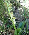 Orchis anthropophora01.jpg