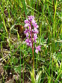 Orchis mascula (1).JPG