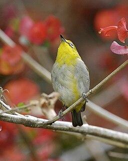 Sangkar white-eye Species of bird