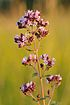 Origanum vulgare - harilik pune.jpg