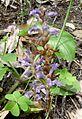 Orobanche ramosa - Hemp Broomrape-Branched Broomrape (Orobanchaceae) - Flickr - gailhampshire.jpg