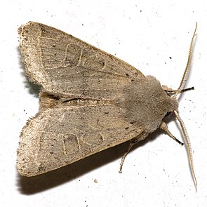 Rundflügel-Kätzcheneule (Orthosia cerasi)