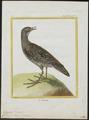 Ortygometra porzana - 1700-1880 - Print - Iconographia Zoologica - Special Collections University of Amsterdam - UBA01 IZ17500089.tif