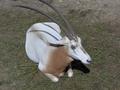 Oryx dammah.png