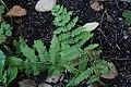 Osmunda claytoniana 7zz.jpg