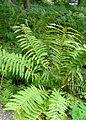 Osmundastrum cinnamomeum kz1.jpg