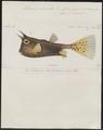 Ostracion cornutus - 1700-1880 - Print - Iconographia Zoologica - Special Collections University of Amsterdam - UBA01 IZ15400265.tif
