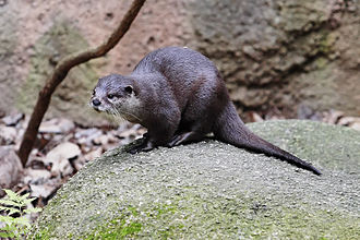 Asian small-clawed otter - Image: Otter melbourne zoo