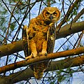 Owlet at North Beach in Fort Desoto.jpg