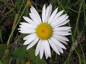 Leucanthemum vulgare English: White Ox-eye dai...
