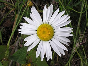 White Ox-eye daisy flower, Wellington, New Zealand