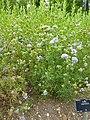 P1000375 Gilia capitata (Queen Anne's Thimble) ().JPG