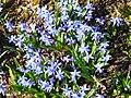 P1130468 Scilla siberia Spring Beauty (Hyacinthaceae).JPG
