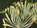 P20140322-0002—Aloe plicatilis (13339303423).jpg