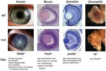 PAX6 Phenotypes Washington etal PLoSBiol e1000247.png