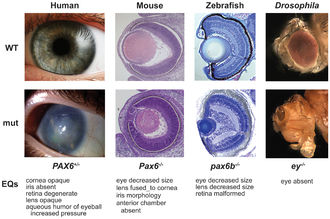 PAX6 - Pax6 alterations result in similar phenotypic alterations of eye morphology and function across a wide range of species.