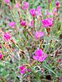 POL Dianthus deltoides.jpg