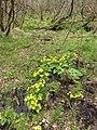 PR Brčálnické mokřady pod osadou Brčálník, kvetoucí blatouchy bahenní na podmáčené ploše, duben 2017.jpg