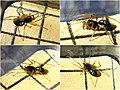 Pachygnatha degeeri male (5553681669).jpg