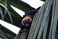 Pacific flying fox pteropus tonganus, Fiji.jpg