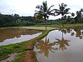 Paddy Fields at Pombra by Ramesh Kunnappully 20200826 075047.jpg