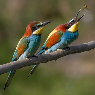 The bee-eater, Merops apiaster, specialises in feeding on bees; here a male catches a nuptial gift for his mate. Pair of Merops apiaster feeding detail.jpg