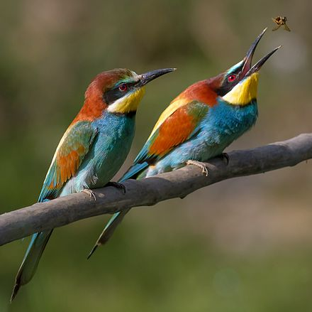 Bee-eaters such as Merops apiaster specialise in feeding on bees and wasps. Pair of Merops apiaster feeding detail.jpg