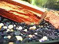 Palaemonetes Sp. in home aquarium.jpg