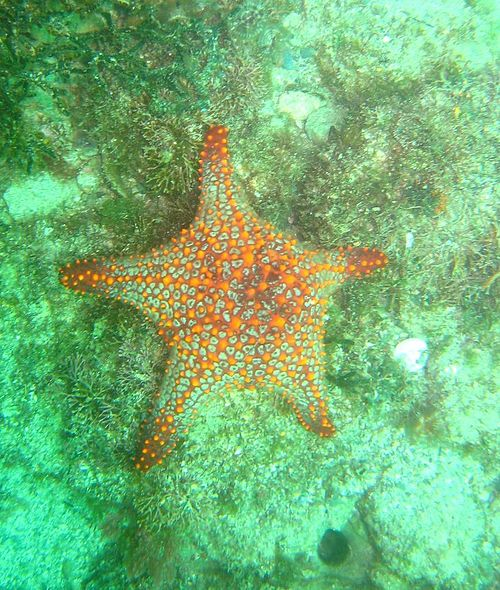 Panamic Cushion Star
