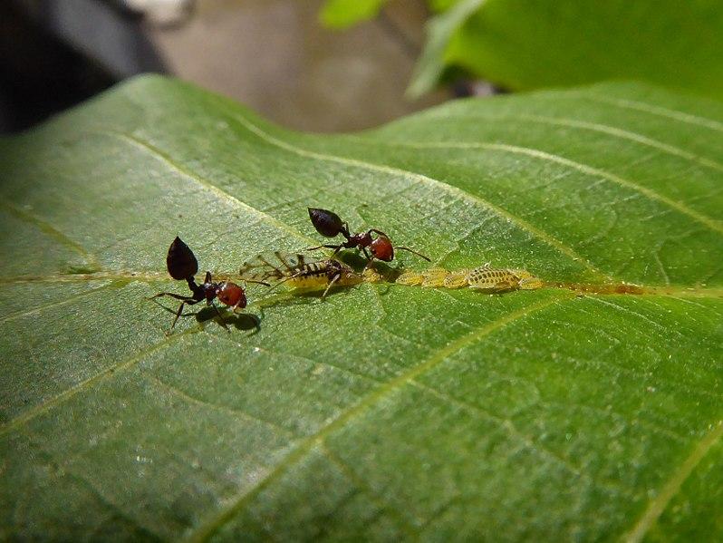 File:Panaphis juglandis and Crematogaster scutellaris 04.jpg