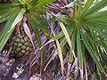 Pandanus heterocarpus 05 (fruit).jpg