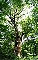 Panorama arborelui secular 01.jpg